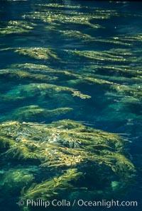 Kelp plants reaching surface, spreading out. Santa Barbara Island, California, USA, Macrocystis pyrifera, natural history stock photograph, photo id 04671