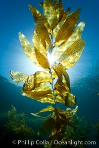 Kelp forest underwater at San Clemente Island. Giant kelp, the fastest plant on Earth, reaches from the rocky bottom to the ocean's surface like a terrestrial forest, Macrocystis pyrifera