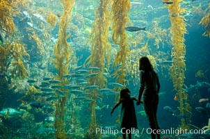 A parent and child admire the fascinating kelp forest tank at the Birch Aquarium at Scripps Institution of Oceanography, San Diego, California., Macrocystis pyrifera, natural history stock photograph, photo id 10308