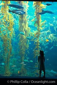 A child admires the fascinating kelp forest tank at the Birch Aquarium at Scripps Institution of Oceanography, San Diego, California, Macrocystis pyrifera