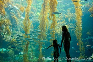 A parent and child admire the fascinating kelp forest tank at the Birch Aquarium at Scripps Institution of Oceanography, San Diego, California., Macrocystis pyrifera, natural history stock photograph, photo id 10310