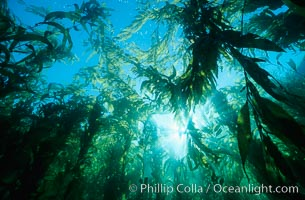 Kelp canopy, Macrocystis pyrifera, San Clemente Island