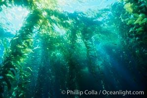 Kelp canopy, Macrocystis pyrifera, San Clemente Island