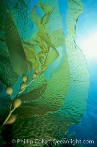 Kelp frond showing pneumatocysts, Macrocystis pyrifera, San Clemente Island