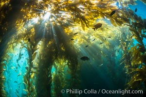 Sunlight streams through giant kelp forest. Giant kelp, the fastest growing plant on Earth, reaches from the rocky reef to the ocean's surface like a submarine forest, Macrocystis pyrifera, Catalina Island
