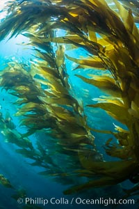 Image 33442, Sunlight streams through giant kelp forest. Giant kelp, the fastest growing plant on Earth, reaches from the rocky reef to the ocean's surface like a submarine forest. Catalina Island, California, USA, Macrocystis pyrifera