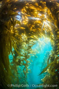 Sunlight streams through giant kelp forest. Giant kelp, the fastest growing plant on Earth, reaches from the rocky reef to the ocean's surface like a submarine forest. Catalina Island, California, USA, Macrocystis pyrifera, natural history stock photograph, photo id 33443