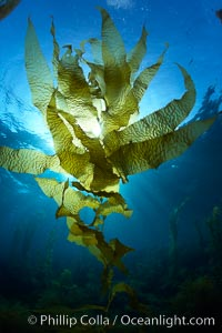 Kelp fronds, translucent, backlit by sun. Catalina Island, California, USA, Macrocystis pyrifera, natural history stock photograph, photo id 23436