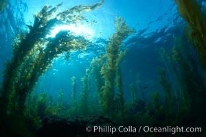 Kelp forest, sunlight filters through towering stands of giant kelp, underwater, Macrocystis pyrifera, Catalina Island