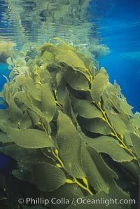 Kelp plants growing toward surface and spreading to form a canopy., Macrocystis pyrifera,  Copyright Phillip Colla, image #01293, all rights reserved worldwide.