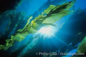 Kelp fronds and forest., Macrocystis pyrifera,  Copyright Phillip Colla, image #01497, all rights reserved worldwide.