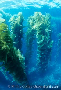 Kelp canopy. San Clemente Island, California, USA, Macrocystis pyrifera, natural history stock photograph, photo id 02120