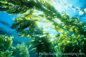 Image 04651, Kelp forest. San Clemente Island, California, USA, Macrocystis pyrifera, Phillip Colla, all rights reserved worldwide. Keywords: algae, braendeltang, california, channel islands, environment, forest, gedroogde kelp, giant kelp, habitat, harina de kelp, harina de la macroalga, kelp, kelp forest, landscape, macroalga marina, macrocystis, macrocystis pyrifera, marine, marine algae, marine plant, nature, ocean, oceans, outdoors, outside, pacific, pacific ocean, phaeophyceae, plant, reuzenkelp, san clemente island, sargazo gigante, scene, scenery, scenic, sea, sea grass, sea weed, seascape, seaweed, underwater, underwater landscape, usa, zeewier.