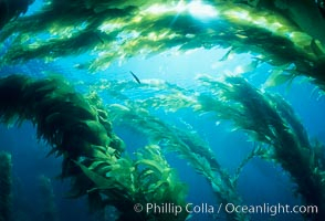 Kelp forest., Macrocystis pyrifera,  Copyright Phillip Colla, image #04675, all rights reserved worldwide.