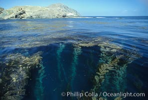 Giant kelp rises from the ocean depths toward sunlight and the surface.  San Clemente Island, Macrocystis pyrifera