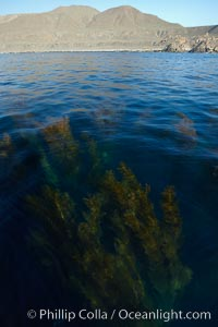 A forest of giant kelp, growing just below the ocean surface along the shores of San Clemente Island. San Clemente Island, California, USA, Macrocystis pyrifera, natural history stock photograph, photo id 23558