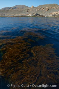 A forest of giant kelp, growing just below the ocean surface along the shores of San Clemente Island, Macrocystis pyrifera