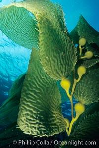 Kelp fronds, Macrocystis pyrifera, San Clemente Island
