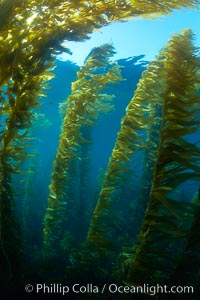 A kelp forest.  Giant kelp grows rapidly, up to 2&#39; per day, from the rocky reef on the ocean bottom to which it is anchored, toward the ocean surface where it spreads to form a thick canopy.  Myriad species of fishes, mammals and invertebrates form a rich community in the kelp forest.  Lush forests of kelp are found through California&#39;s Southern Channel Islands, Macrocystis pyrifera, San Clemente Island