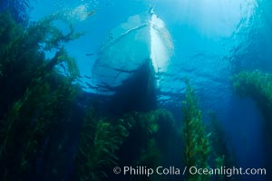 Boat Horizon floats above a kelp forest, clear oceanic waters, underwater, Macrocystis pyrifera, San Clemente Island