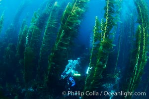 A SCUBA diver, swims through a underwater forest of giant kelp at San Clemente Island, Macrocystis pyrifera