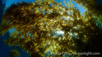 Sunlight filters through a kelp forest, the floating canopy of kelp spreads out on the ocean surface after having grown up from the rocky reef on the ocean bottom, underwater, Macrocystis pyrifera, San Clemente Island