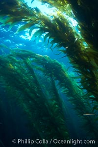 A kelp forest.  Giant kelp grows rapidly, up to 2' per day, from the rocky reef on the ocean bottom to which it is anchored, toward the ocean surface where it spreads to form a thick canopy.  Myriad species of fishes, mammals and invertebrates form a rich community in the kelp forest.  Lush forests of kelp are found through California's Southern Channel Islands, Macrocystis pyrifera, San Clemente Island