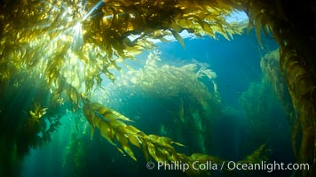 A view of an underwater forest of giant kelp.  Giant kelp grows rapidly, up to 2' per day, from the rocky reef on the ocean bottom to which it is anchored, toward the ocean surface where it spreads to form a thick canopy.  Myriad species of fishes, mammals and invertebrates form a rich community in the kelp forest.  Lush forests of kelp are found through California's Southern Channel Islands, Macrocystis pyrifera, San Clemente Island