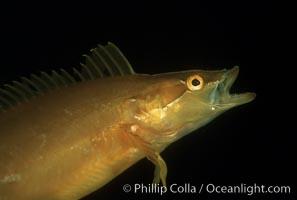 Giant kelpfish, Heterostichus rostratus, Macrocystis pyrifera, San Clemente Island