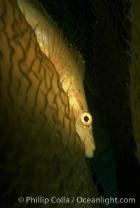 Giant kelpfish in kelp, Heterostichus rostratus, Macrocystis pyrifera, San Clemente Island