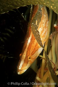 Giant kelpfish in kelp., Heterostichus rostratus, Macrocystis pyrifera,  Copyright Phillip Colla, image #05141, all rights reserved worldwide.