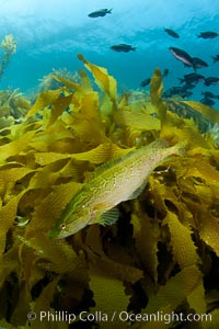 A giant kelpfish swims over Southern sea palms and a kelp-covered reef, mimicing the color and pattern of the kelp leaves perfectly, camoflage, Heterostichus rostratus, San Clemente Island