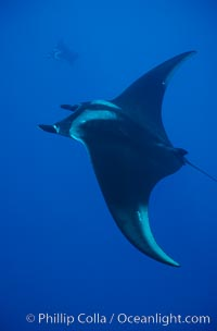Manta ray, Manta birostris, San Benedicto Island (Islas Revillagigedos), copyright Phillip Colla Natural History Photography, www.oceanlight.com, image #02443, all rights reserved worldwide.