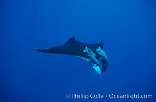 Manta ray with remoras. San Benedicto Island (Islas Revillagigedos), Baja California, Mexico, Manta birostris, Remora, natural history stock photograph, photo id 02450