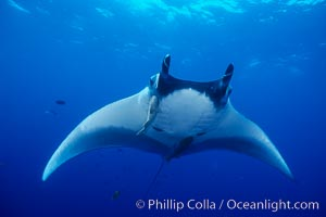 Manta ray, Manta birostris, San Benedicto Island (Islas Revillagigedos), copyright Phillip Colla Natural History Photography, www.oceanlight.com, image #02452, all rights reserved worldwide.