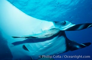Manta ray and remora. San Benedicto Island (Islas Revillagigedos), Baja California, Mexico, Manta birostris, Remora, natural history stock photograph, photo id 02454