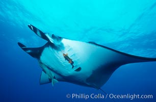Pacific manta ray with remora and Clarion angelfish. San Benedicto Island (Islas Revillagigedos), Baja California, Mexico, Manta birostris, Remora, Holacanthus clarionensis, natural history stock photograph, photo id 06238