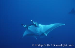 Pacific manta ray with remora, San Benedicto Island, Revilligigedos., Manta birostris, Remora, natural history stock photograph, photo id 06241