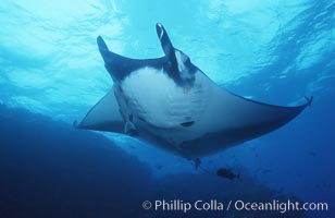 Pacific manta ray with remora, San Benedicto Island, Revilligigedos., Manta birostris, Remora, natural history stock photograph, photo id 06242