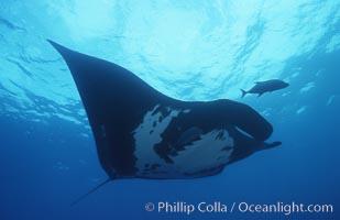 Pacific manta ray with remora, San Benedicto Island, Revilligigedos., Manta birostris, Remora, natural history stock photograph, photo id 06243