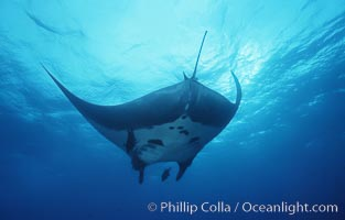 Pacific manta ray with remora, San Benedicto Island, Revilligigedos., Manta birostris, Remora, natural history stock photograph, photo id 06251