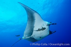 Pacific manta ray with remora. San Benedicto Island (Islas Revillagigedos), Baja California, Mexico, Manta birostris, Remora, natural history stock photograph, photo id 06253