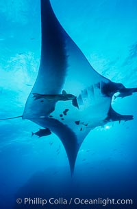 Pacific manta ray with remora. San Benedicto Island (Islas Revillagigedos), Baja California, Mexico, Manta birostris, Remora, natural history stock photograph, photo id 06257