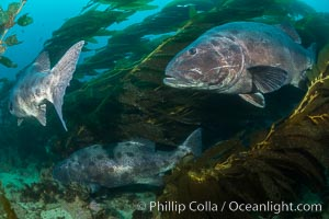 Giant black sea bass, gathering in a mating - courtship aggregation amid kelp forest, Catalina Island. Catalina Island, California, USA, Stereolepis gigas, natural history stock photograph, photo id 33355