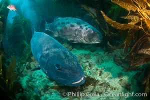 Giant black sea bass, gathering in a mating - courtship aggregation amid kelp forest, Catalina Island. Catalina Island, California, USA, Stereolepis gigas, natural history stock photograph, photo id 33362
