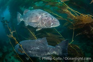Giant black sea bass, gathering in a mating - courtship aggregation amid kelp forest, Catalina Island. Catalina Island, California, USA, Stereolepis gigas, natural history stock photograph, photo id 33366