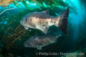 Giant black sea bass, gathering in a mating - courtship aggregation amid kelp forest, Catalina Island. Catalina Island, California, USA, Stereolepis gigas, natural history stock photograph, photo id 33379