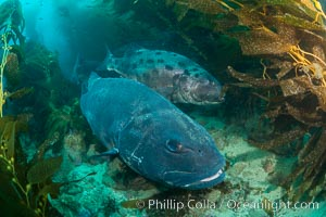 Giant black sea bass, gathering in a mating - courtship aggregation amid kelp forest, Catalina Island. Catalina Island, California, USA, Stereolepis gigas, natural history stock photograph, photo id 33412