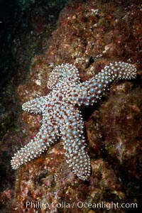 A giant sea star, or starfish, on a rocky reef underwater, Pisaster giganteus, San Clemente Island