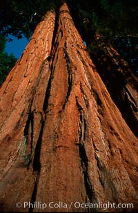 Sequoia trees, Sequoiadendron giganteum, Sequoia Kings Canyon National Park, California